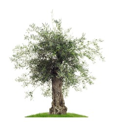 Isolated Olive tree with olives on a white background as a cutout