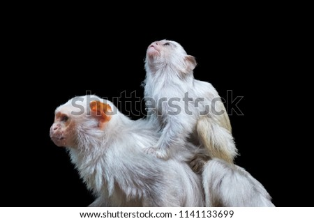 Isolated on black background, Silvery marmoset, Mico argentatus, small amazonian monkey, male with juvenile on its back. Monkey living in Eastern Amazon Rainforest, Brazil