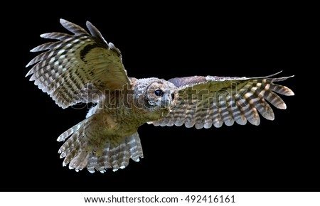 Stock Photo Isolated on black background, Tawny Owl, Strix aluco in first flight.  European small owl, juvenile bird just after leaving the nest. Juvenile plumage, outstretched wings, wildlife photography.