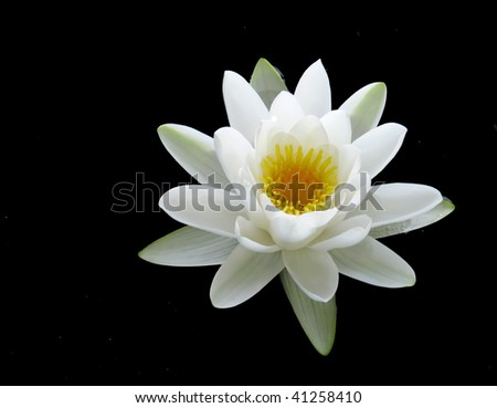 isolated on black water lilly