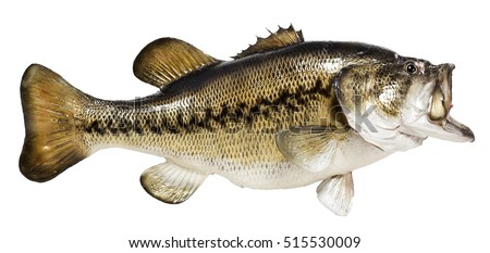 Isolated on white background a mounted large mouth or black bass. Artful taxidermy. Horizontal.