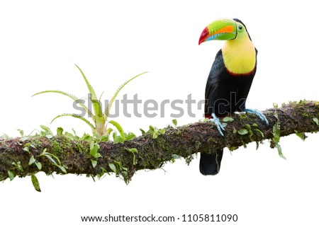 Isolated on white background, famous tropical bird with enormous beak, Keel-billed toucan, Ramphastos sulfuratus, perched on a mossy branch. Costa Rican black-yellow toucan, wild animal. Costa Rica.