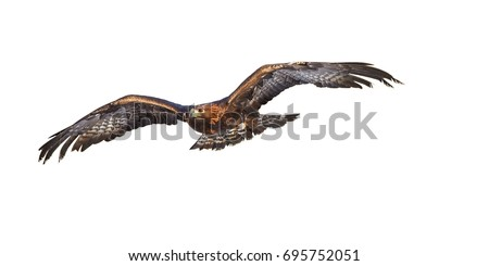 Isolated on white background, flying Golden eagle, Aquila chrysaetos, big bird of prey with  outstretched wings. Front view. Eagle flying directly at camera. Action photo. #695752051