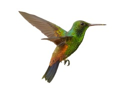 Isolated on white background, shining green, caribbean hummingbird with coppery colored wings and tail, Copper-rumped Hummingbird, Amazilia tobaci hovering in the air. Trinidad and Tobago.