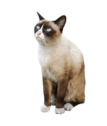 Isolated on white background Siamese cat clipping path ready