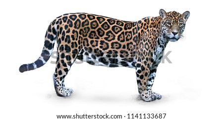Isolated on white background, side view on Jaguar, Panthera onca, the biggest cat in South America, gazing directly at camera. #1141133687