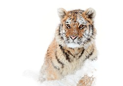 Isolated on white background, young Siberian tiger, Panthera tigris altaica,  male with snow in fur,  running in snow directly at camera.  Winter.
