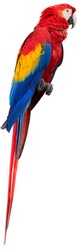 Isolated on white, vertical photo of Ara macao, Scarlet Macaw,  red and blue, colorful, big amazonian parrot, perched on branch. Wild animal, Costa Rica, Central America.