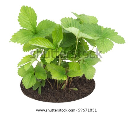 Isolated on white young sapling sprout  of wild strawberry
