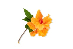 Isolated Orange hibiscus flowers blooming on white background