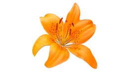 isolated orange Lilly flower on white background