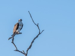 Isolated osprey standing on an artsy dead tree branch above a Florida wetland with a clear blue sky background.