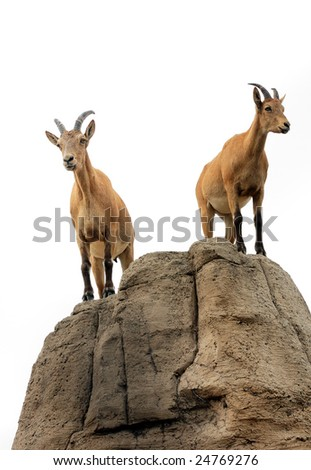 Isolated pair of mountain goats on a hill