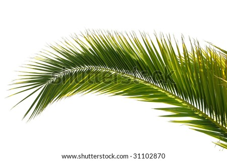 isolated palm tree leaf