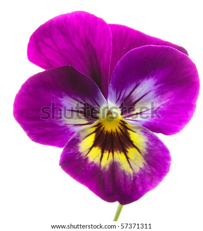 Isolated pansy over white background. Beauty nature