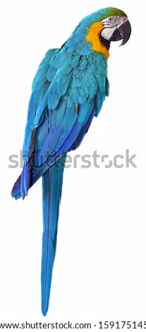 Isolated Parrot. Blue and Yellow Macaw. colorful bird