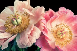 Isolated pastel pink young peony blossom pair macro on black background with stem and green leaves in vintage painting style