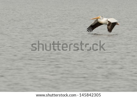 Isolated pelican while flying over water in yellowstone