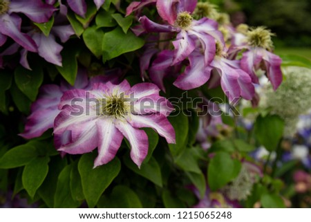 Isolated Perspective of  Blooming Clematis Flowers, Vibrant Pink and White Petals, Deep Yellow White Pistils/Stamen/Centers, Green Leaves, Daytime  #1215065248