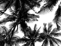 Isolated photo of black and white coconut tree forest.