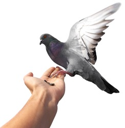 Isolated pigeon on hand. Element of design.