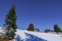 isolated pinetrees in the snow with blue sky in the winter while hiking