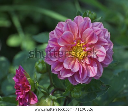 Isolated pink Dahlia flower with green plant background