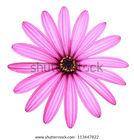 Isolated Pink Daisy