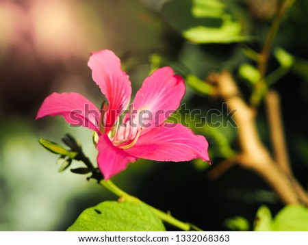 Isolated pink flower called Chongkho holland bloom beautifully in the sunshine during the daytime. #1332068363