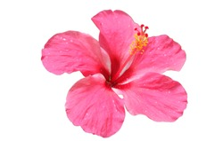 isolated pink Hibiscus flower on white background.