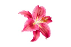 isolated pink Lilly flower on white background