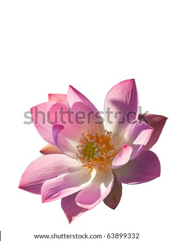 Isolated, Pink Lotus