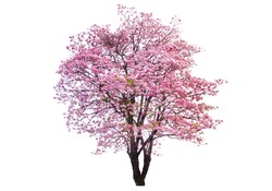 Isolated Pink trumpet tree on white background.