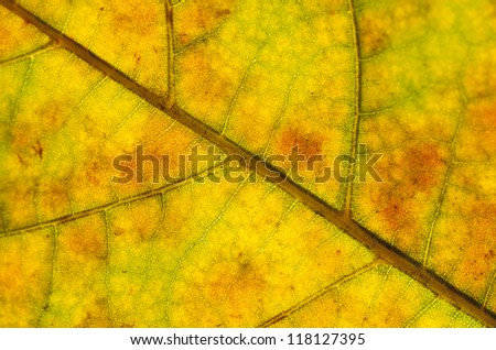 isolated plane tree  leafes in autumn season