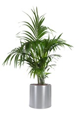 Isolated plant of Palm Tree in stainless steel pot with white background