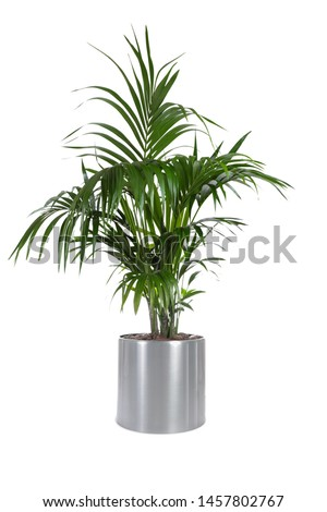 Isolated plant of Palm Tree in stainless steel pot with white background  #1457802767
