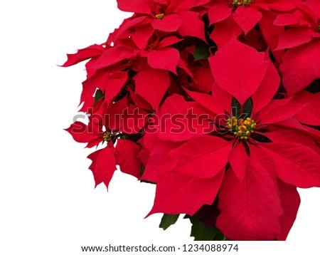 Isolated Poinsettia, Christmas plant