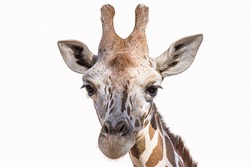 Isolated portrait of a giraffe