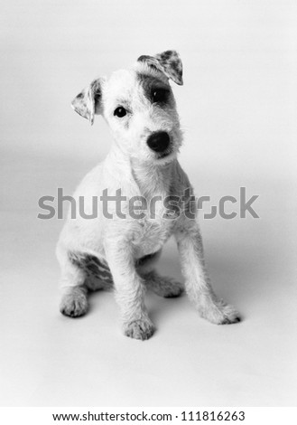 Isolated portrait of a little puppy