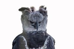 Isolated portrait of Harpy eagle (Harpia harpyja) proudly looking forward