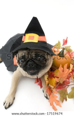 Isolated Pug in Witch Costume for Halloween