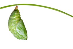 Isolated pupa of Tawny Rajah butterfly with clipping path