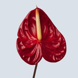 Isolated red Anthurium on plain color background