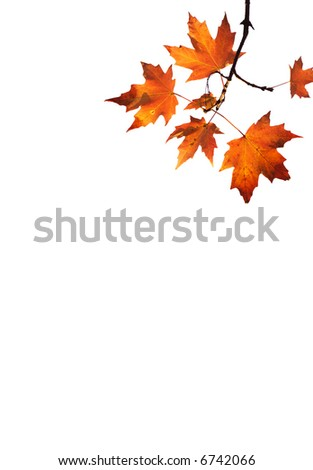 isolated red maple leaves on white background #6742066
