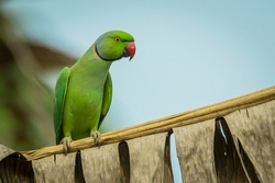 isolated red ringed parakeet on a banana leaf