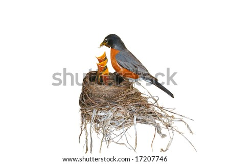 "isolated, ""Robin red breast"" feeding her three babies in a nest. focus on the babies"