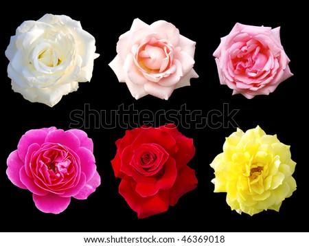 Isolated rose on black