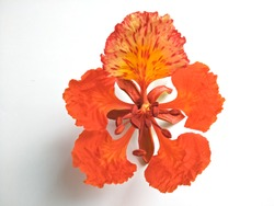 Isolated Royal Poinciana (Delonix regia) flower on white background.