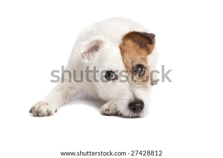 isolated sad and depressed jack russell terrier smiling and lying down over white background - stock photo