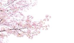 Isolated sakura tree